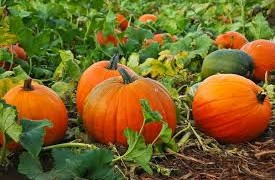 Grow Pumpkins Like a Pro